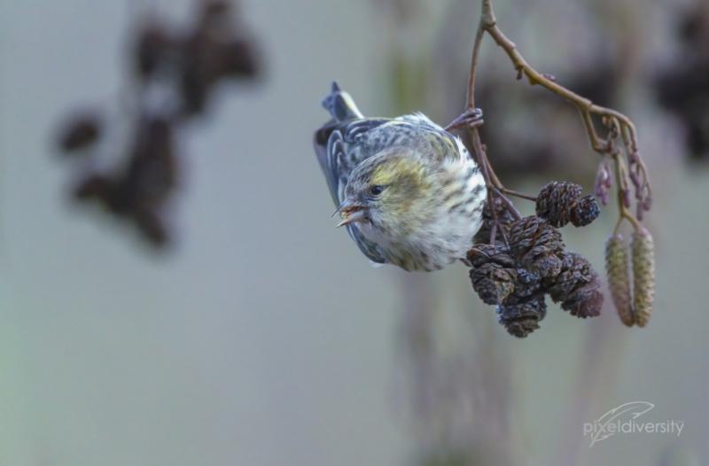 Erlenzeisig-Weibchen an den kleinen Zapfen der Erle. Sämereien als Nahrungsgrundlage.