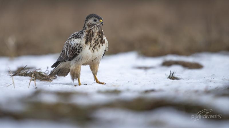 Mäusebussard (Buteo buteo) im Winter.  Aas als wichtige Nahrungsressource bei Schneelagen und tiefen Temperaturen.
