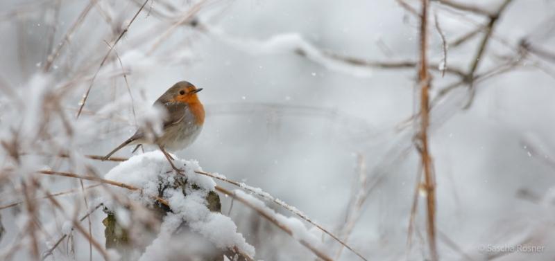Rotkehlchen. Schnee. Kalt. Nahrungsknappheit. Standvogel.