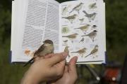 Eindrücke der Vogelberingung. © S. Rösner