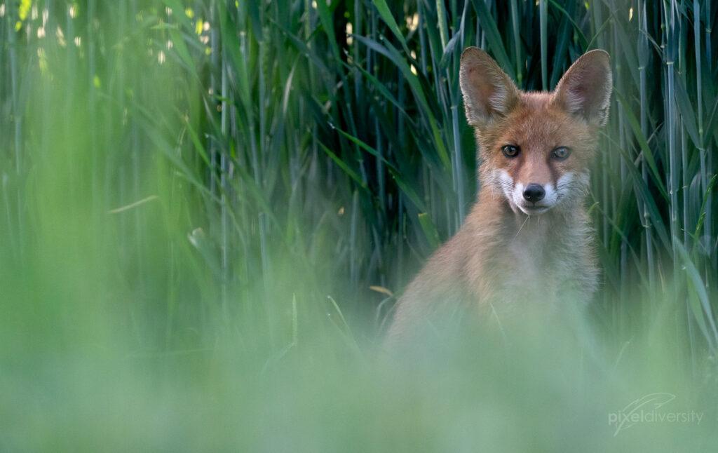 Rotfuchs (Vulpes vulpes). © S. Rösner | pixeldiversity